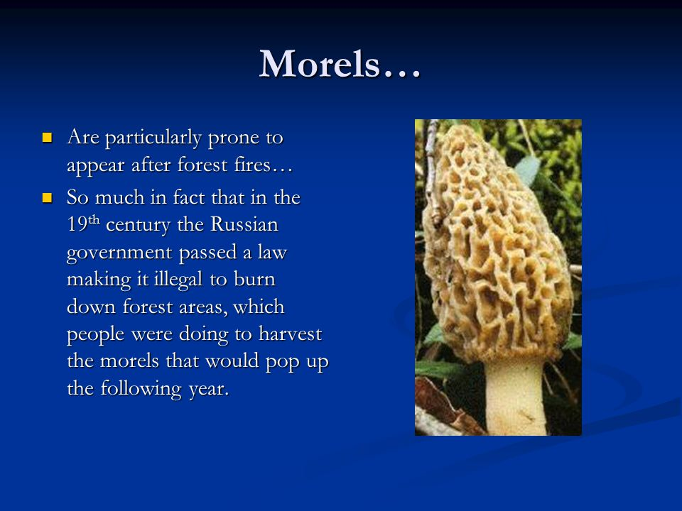Morels… Are particularly prone to appear after forest fires…
