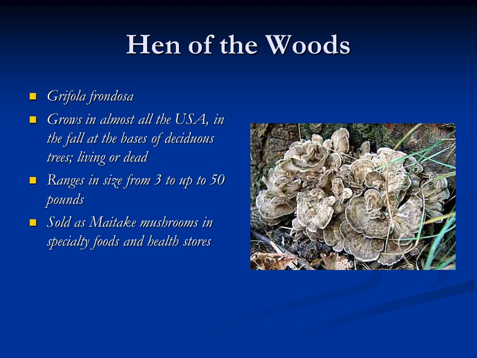 Hen of the Woods Grifola frondosa