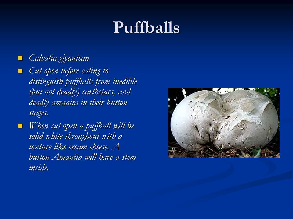 Puffballs Calvatia gigantean