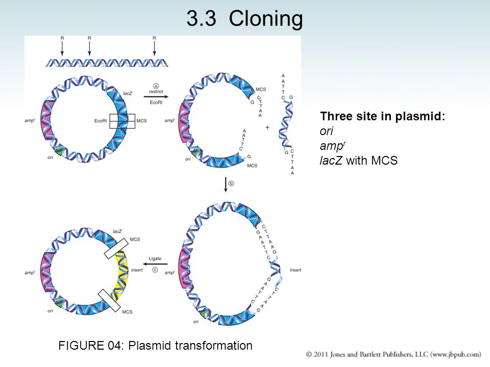 FIGURE 04: Plasmid transformation