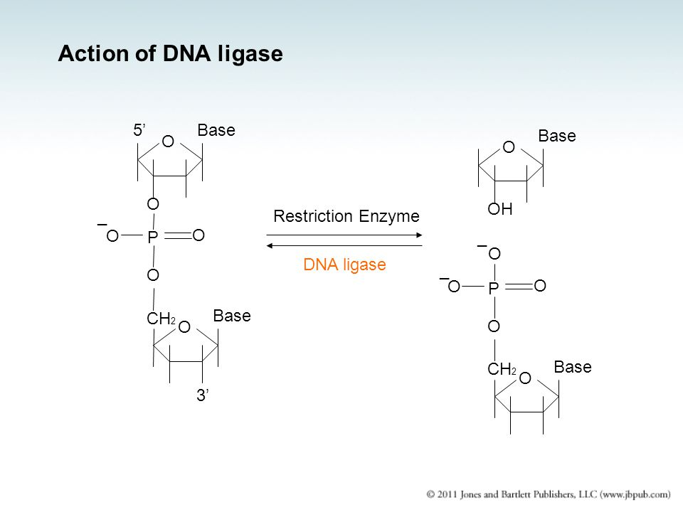 Action of DNA ligase 5' Base Base O O O OH _ Restriction Enzyme O P O