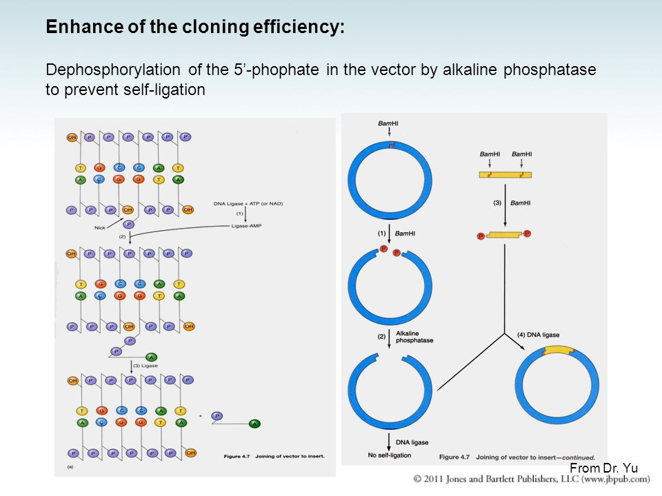 Enhance of the cloning efficiency: