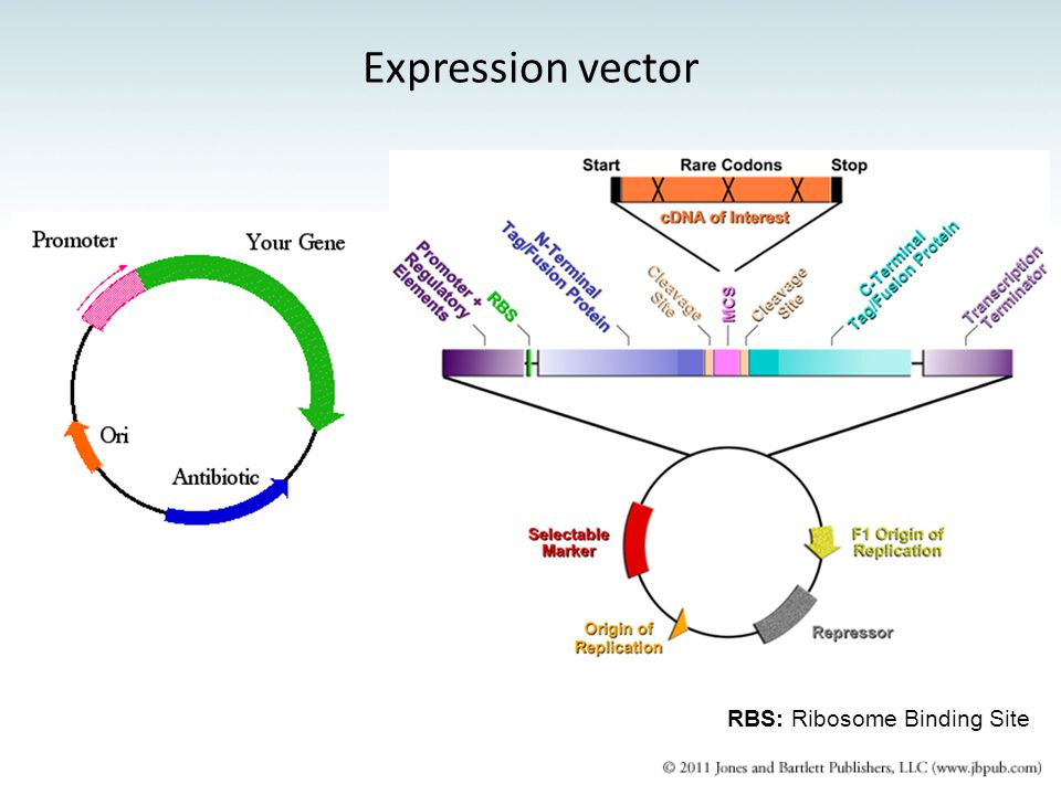 Expression vector RBS: Ribosome Binding Site