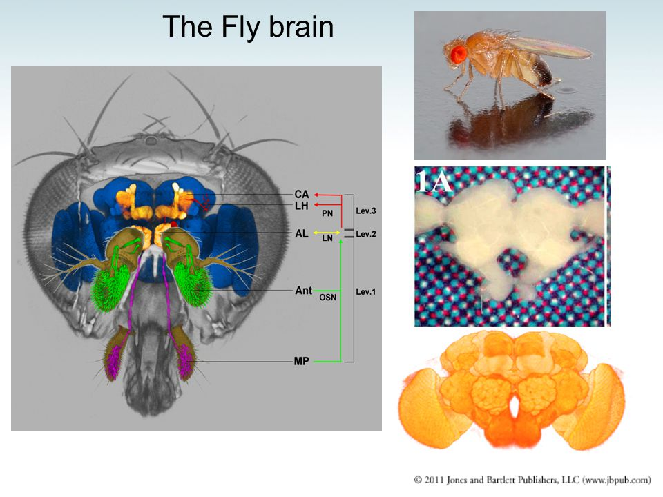 The Fly brain