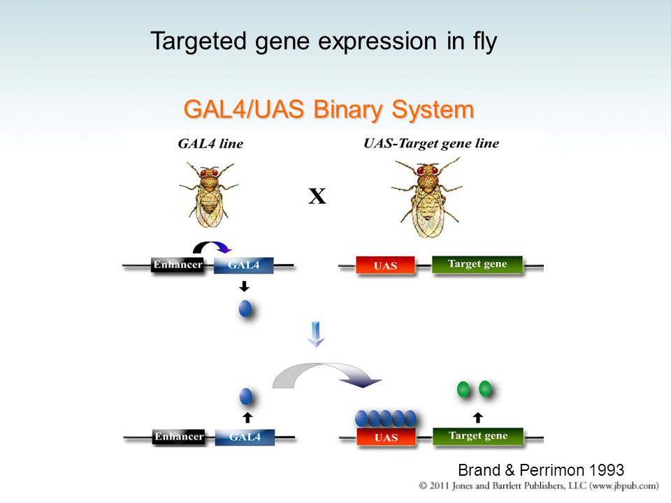 Targeted gene expression in fly