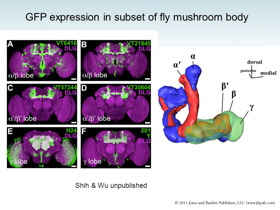 GFP expression in subset of fly mushroom body