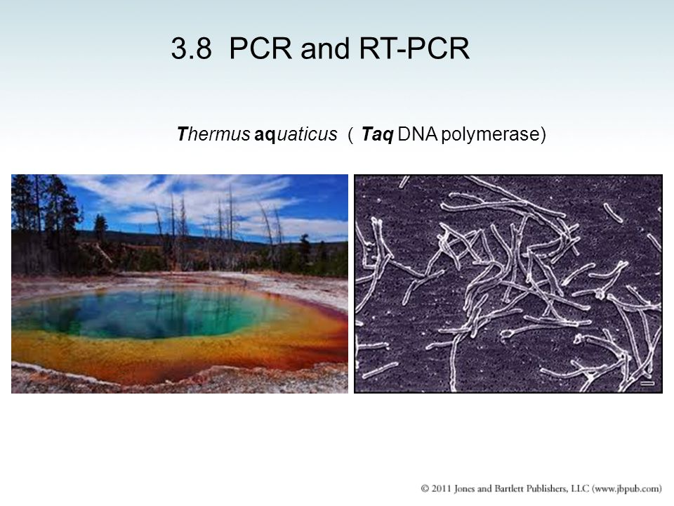 3.8 PCR and RT-PCR Thermus aquaticus (Taq DNA polymerase)