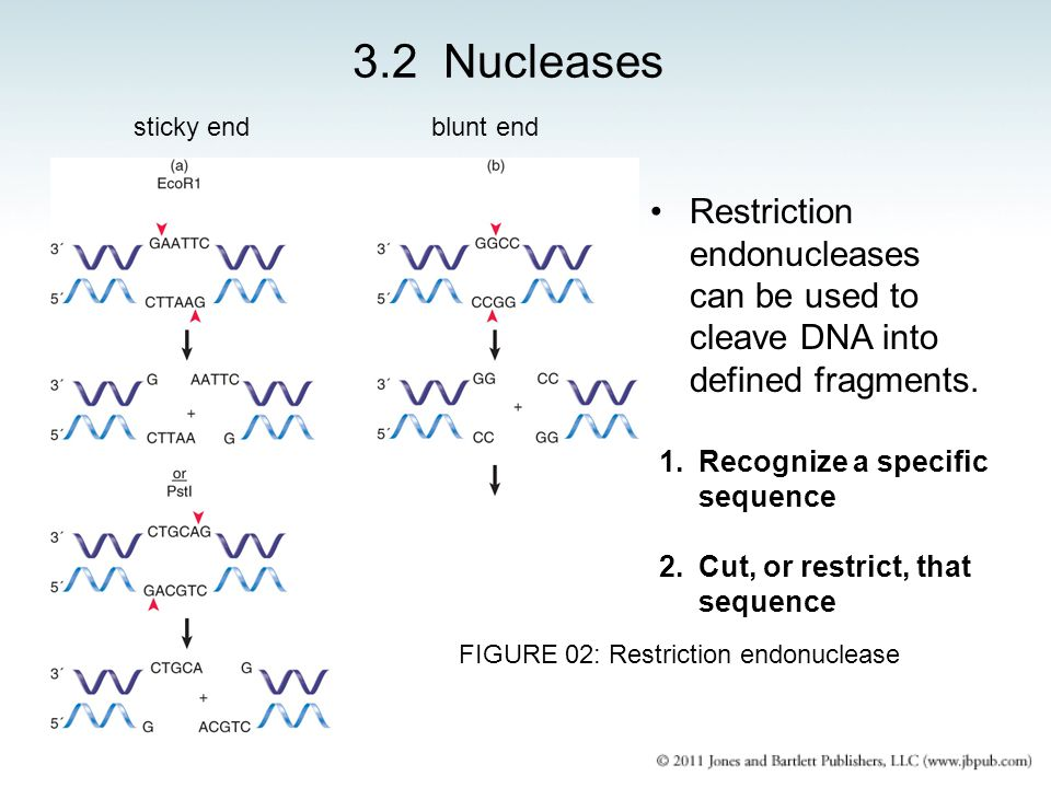 FIGURE 02: Restriction endonuclease
