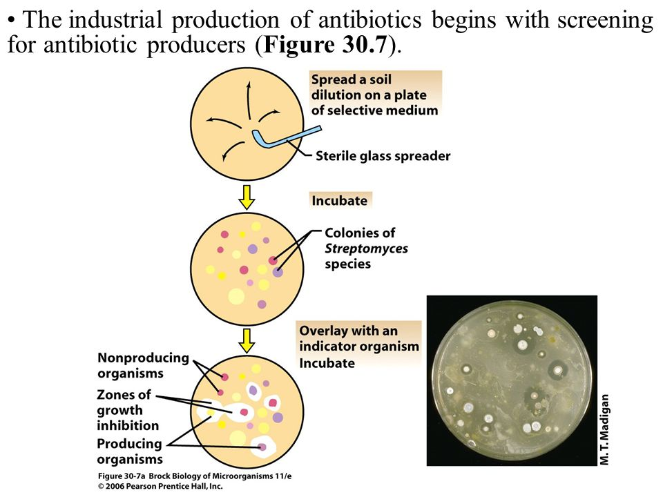 The industrial production of antibiotics begins with screening for antibiotic producers (Figure 30.7).