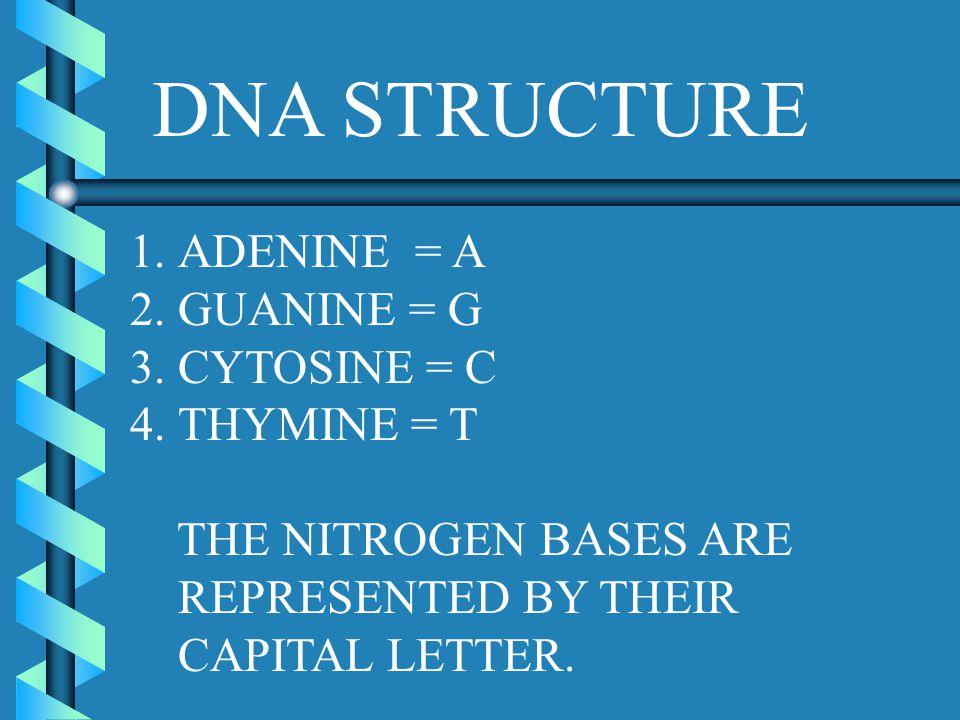 DNA STRUCTURE ADENINE = A GUANINE = G CYTOSINE = C THYMINE = T