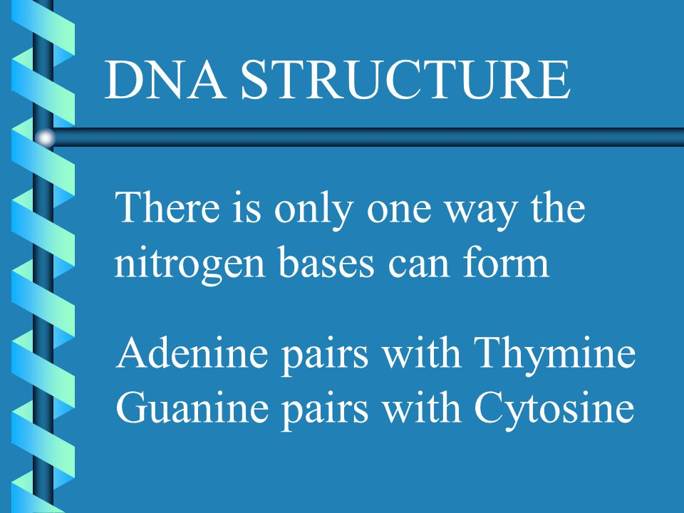 DNA STRUCTURE There is only one way the nitrogen bases can form