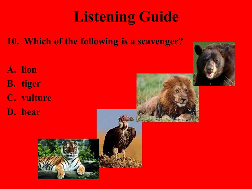 Listening Guide 10. Which of the following is a scavenger lion tiger