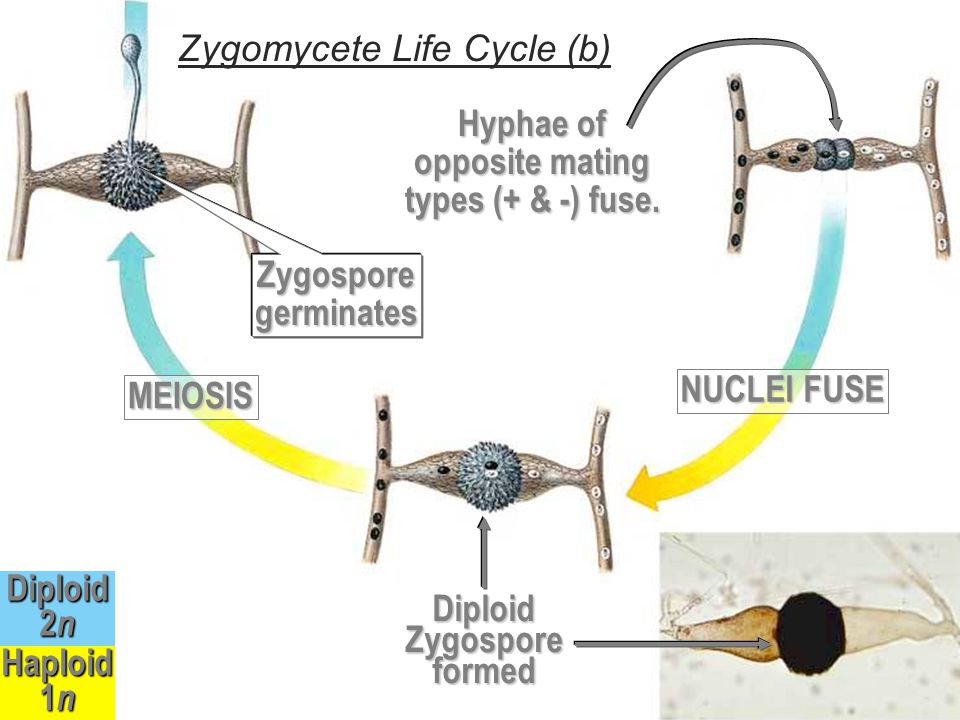Zygomycete Life Cycle (b)