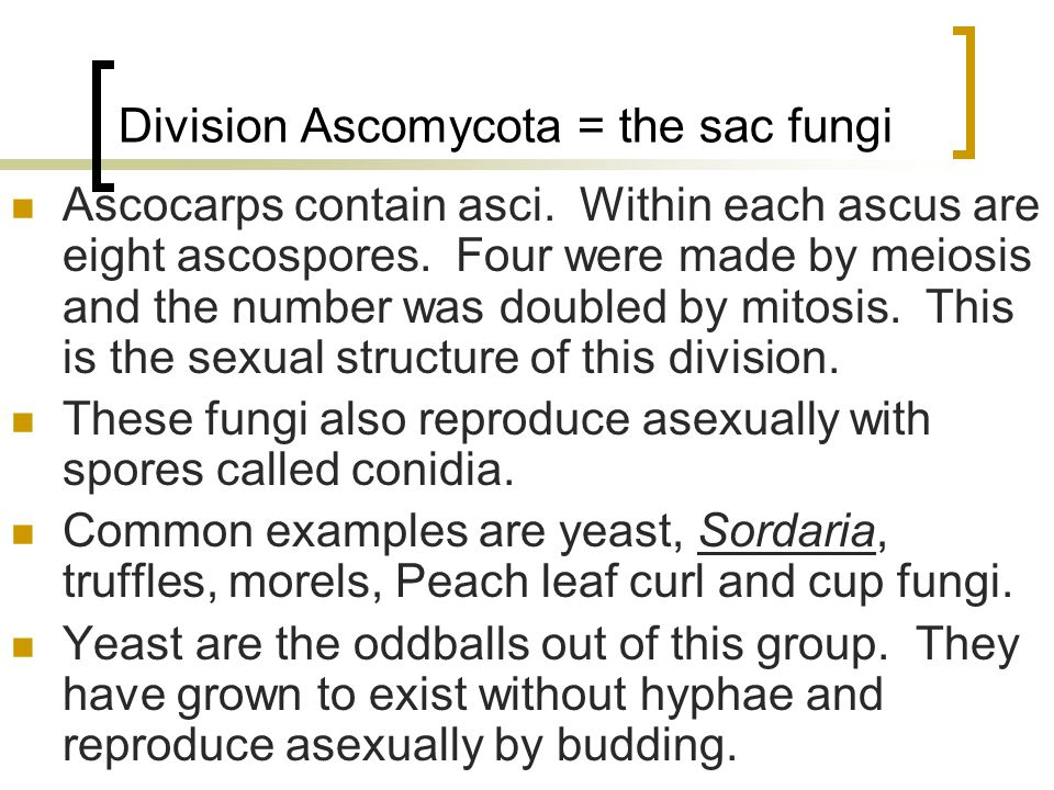 Division Ascomycota = the sac fungi