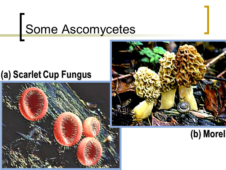 Some Ascomycetes (a) Scarlet Cup Fungus (b) Morel