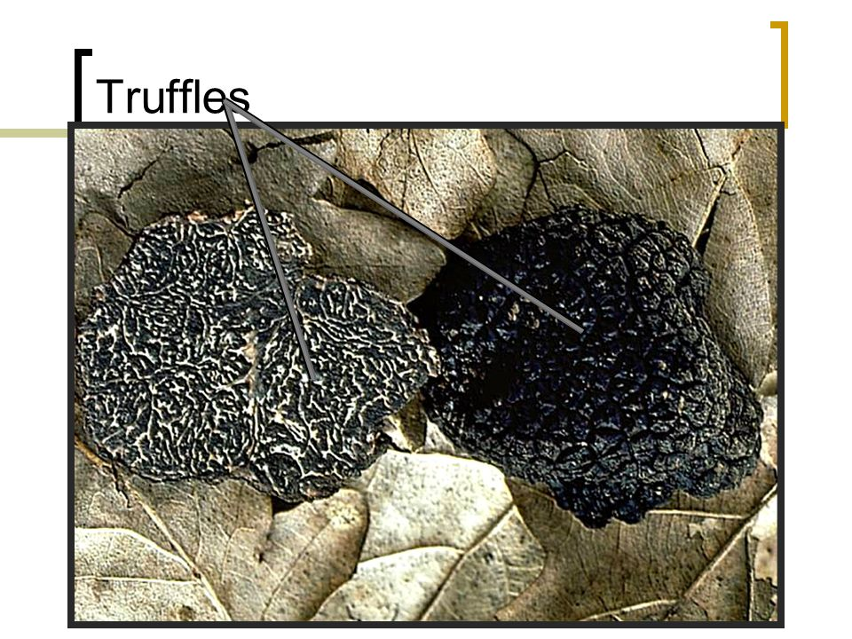 Truffles Truffles, rare ascomycetes (each about the size of a small apple), are a gastronomic delicacy.