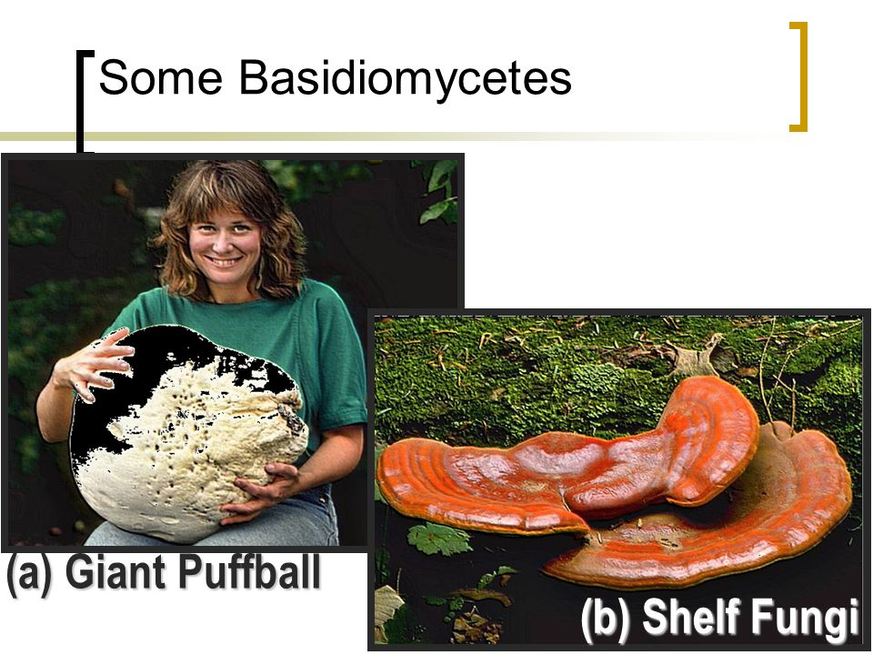 Some Basidiomycetes (a) Giant Puffball (b) Shelf Fungi