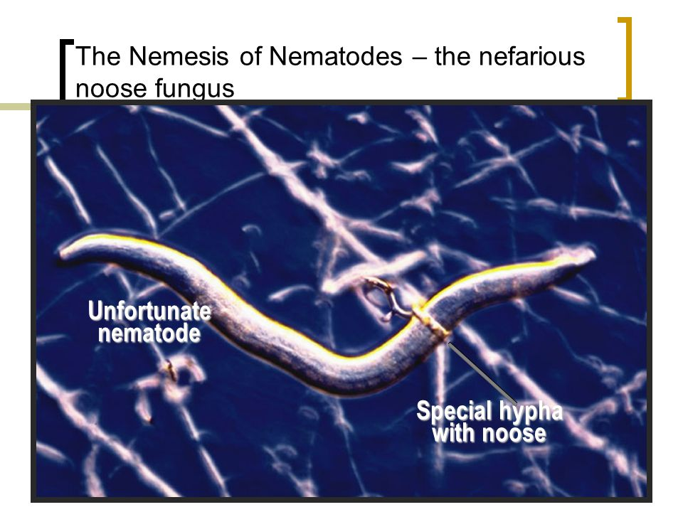 The Nemesis of Nematodes – the nefarious noose fungus