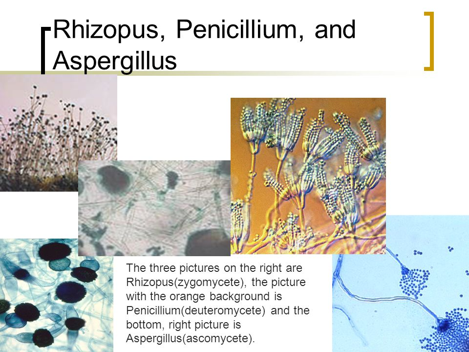 Rhizopus, Penicillium, and Aspergillus