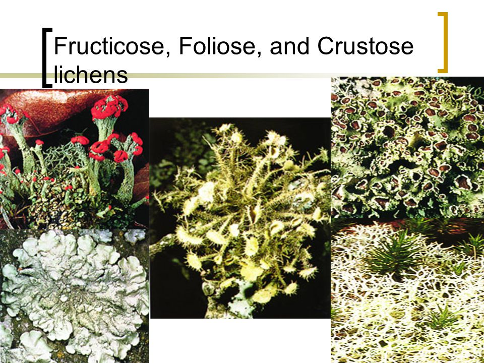 Fructicose, Foliose, and Crustose lichens