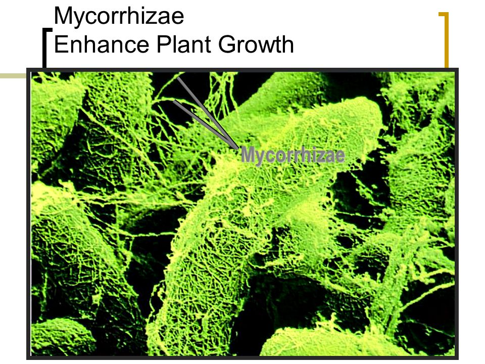 Mycorrhizae Enhance Plant Growth