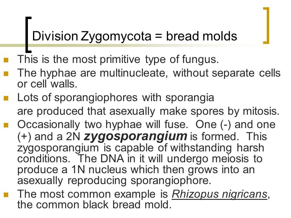 Division Zygomycota = bread molds