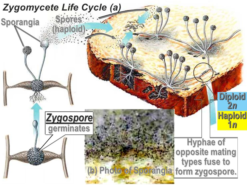 Zygomycete Life Cycle (a)