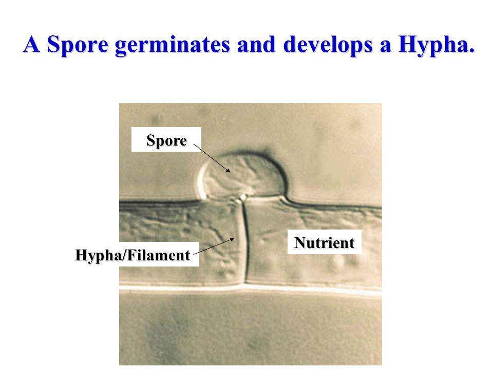 A Spore germinates and develops a Hypha.