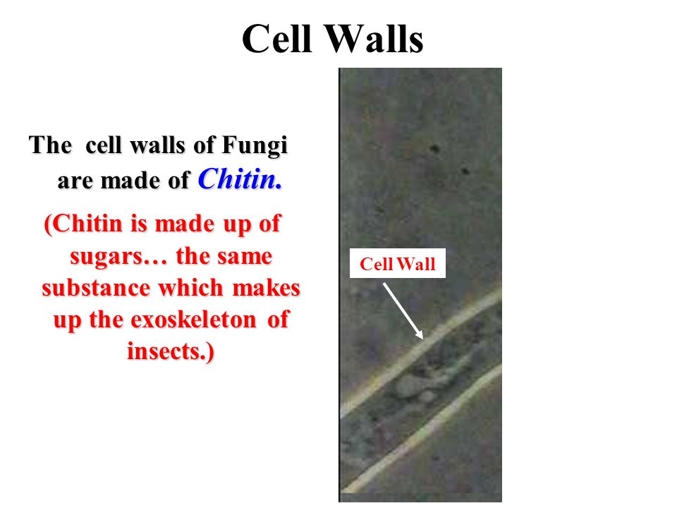 The cell walls of Fungi are made of Chitin.