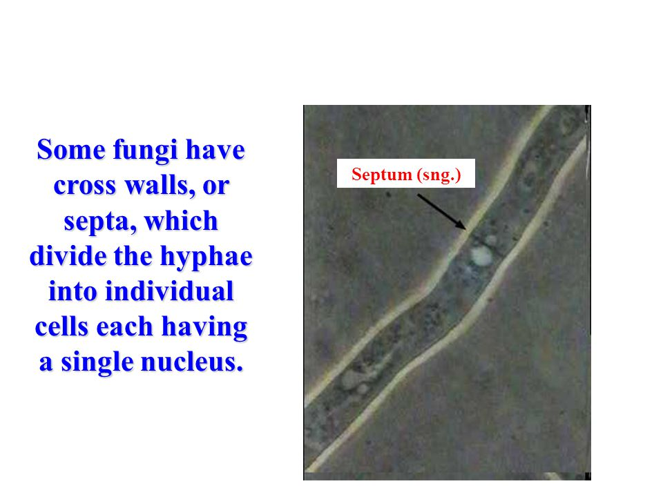 Some fungi have cross walls, or septa, which divide the hyphae into individual cells each having a single nucleus.