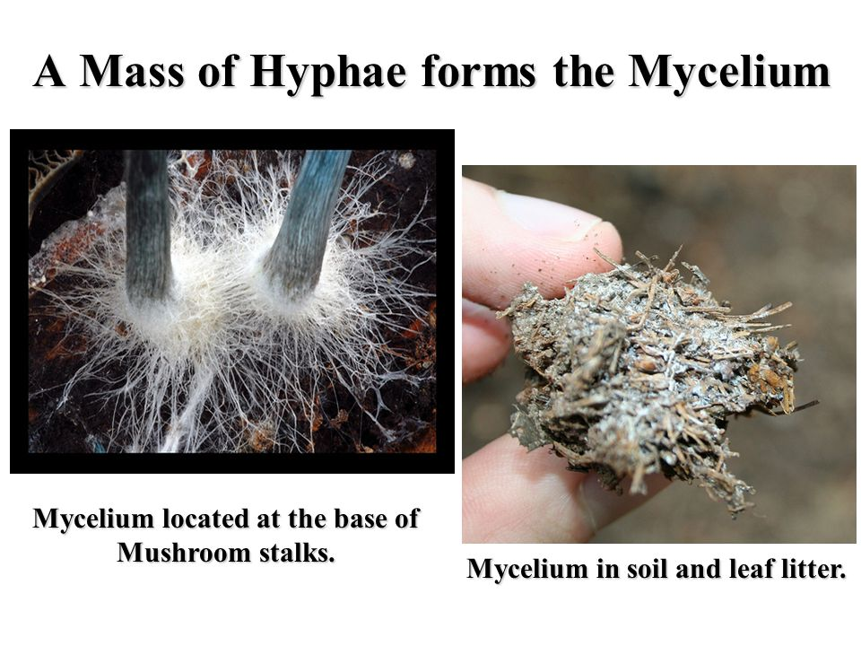 A Mass of Hyphae forms the Mycelium
