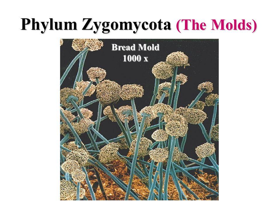 Phylum Zygomycota (The Molds)