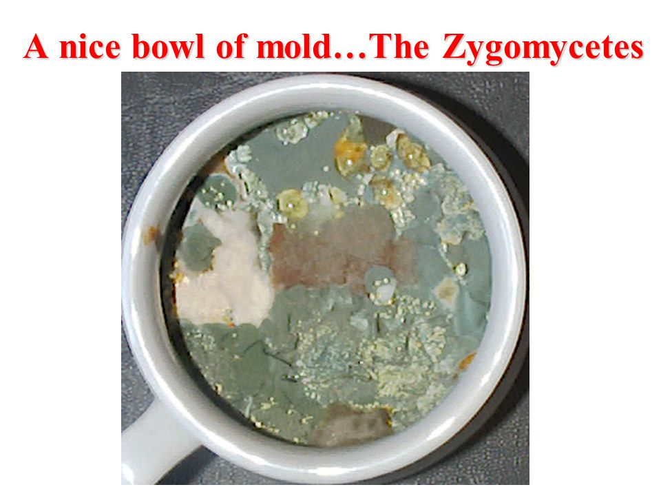 A nice bowl of mold…The Zygomycetes