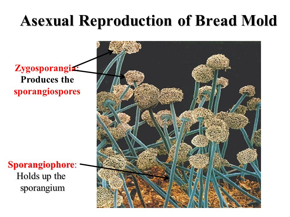 Asexual Reproduction of Bread Mold