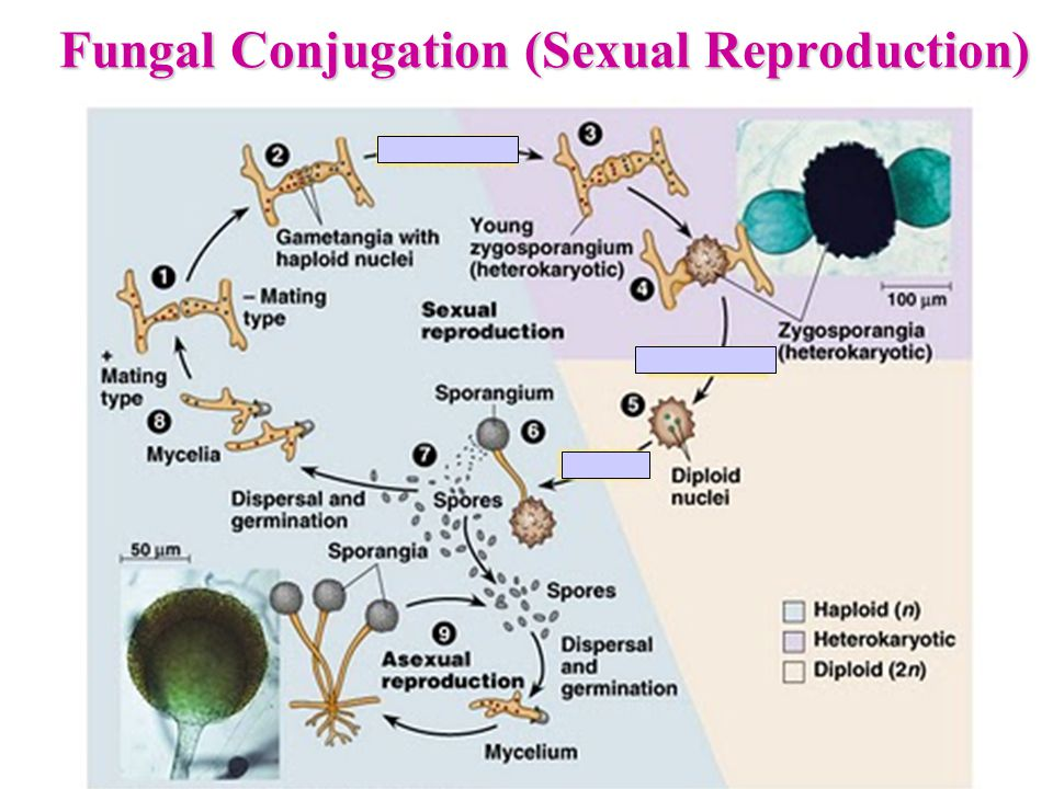 Fungal Conjugation (Sexual Reproduction)
