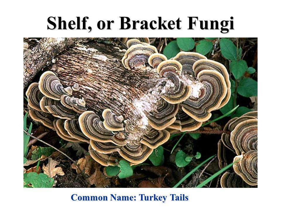 Shelf, or Bracket Fungi Common Name: Turkey Tails