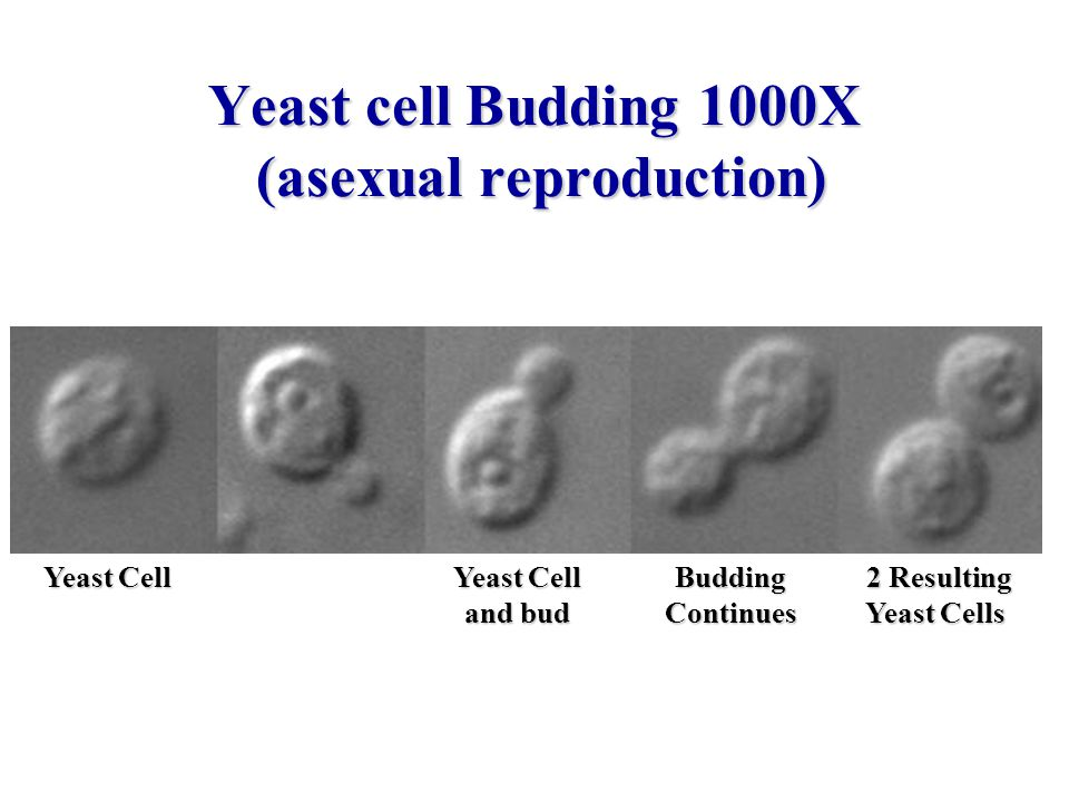 Yeast cell Budding 1000X (asexual reproduction)