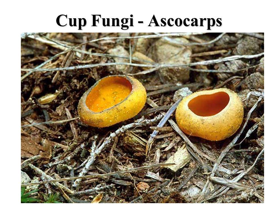 Cup Fungi - Ascocarps