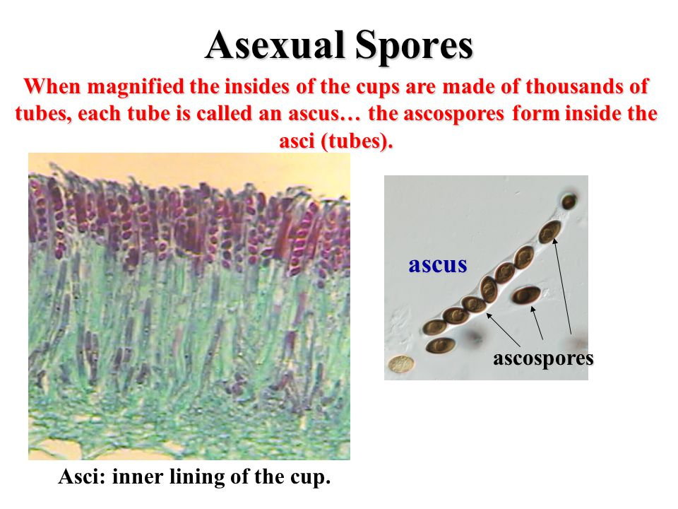 Asexual Spores