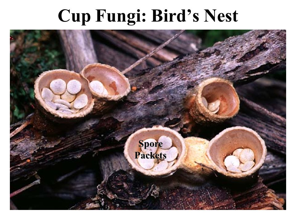 Cup Fungi: Bird's Nest Spore Packets