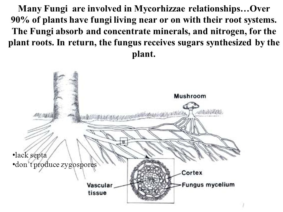 Many Fungi are involved in Mycorhizzae relationships…Over 90% of plants have fungi living near or on with their root systems. The Fungi absorb and concentrate minerals, and nitrogen, for the plant roots. In return, the fungus receives sugars synthesized by the plant.