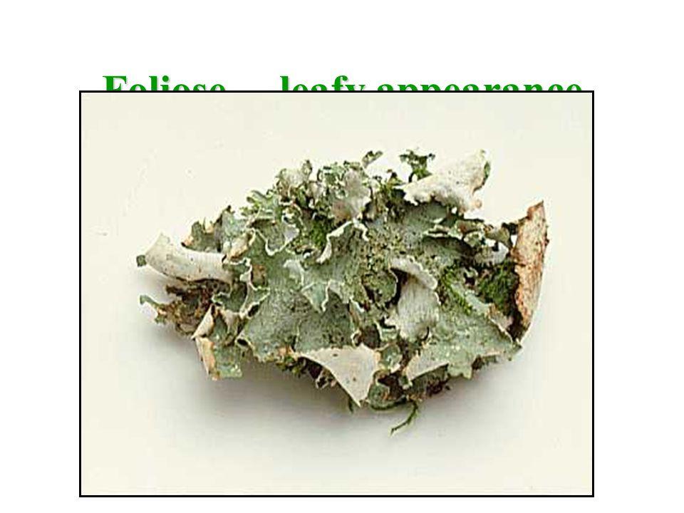 Foliose… leafy appearance