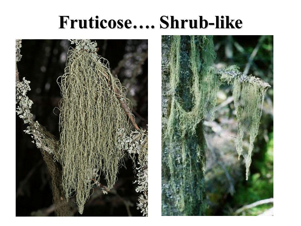 Fruticose…. Shrub-like