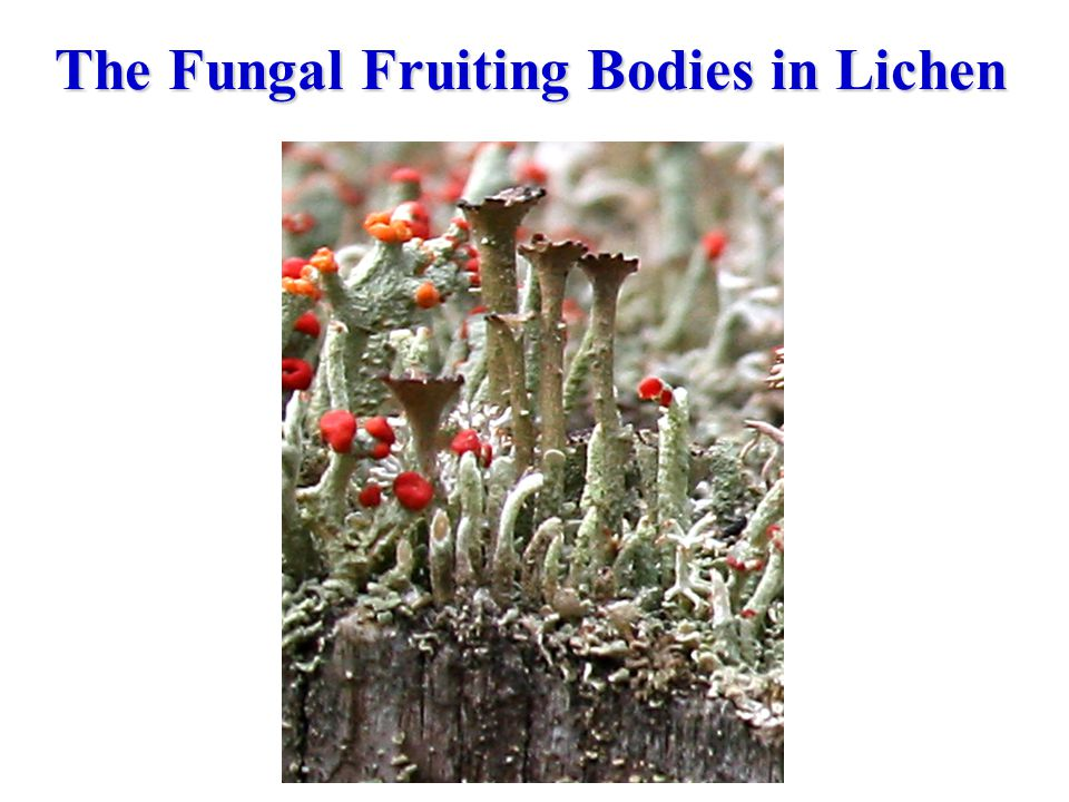 The Fungal Fruiting Bodies in Lichen