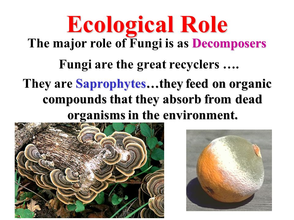 Ecological Role Fungi are the great recyclers ….