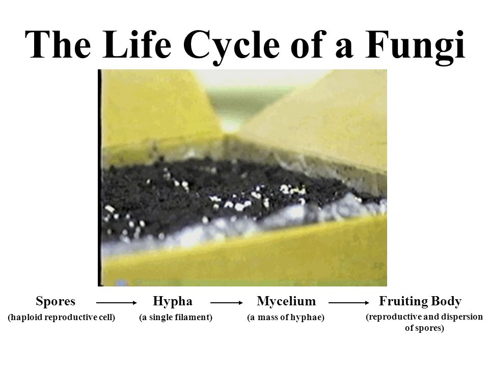 The Life Cycle of a Fungi