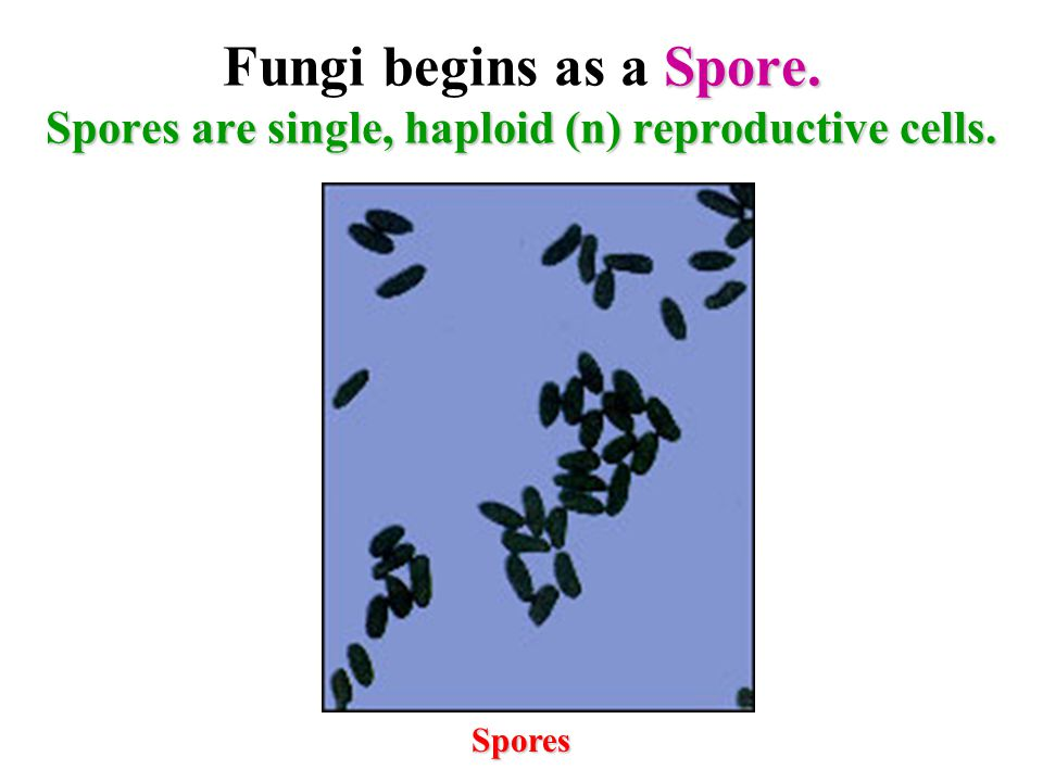 Fungi begins as a Spore. Spores are single, haploid (n) reproductive cells.