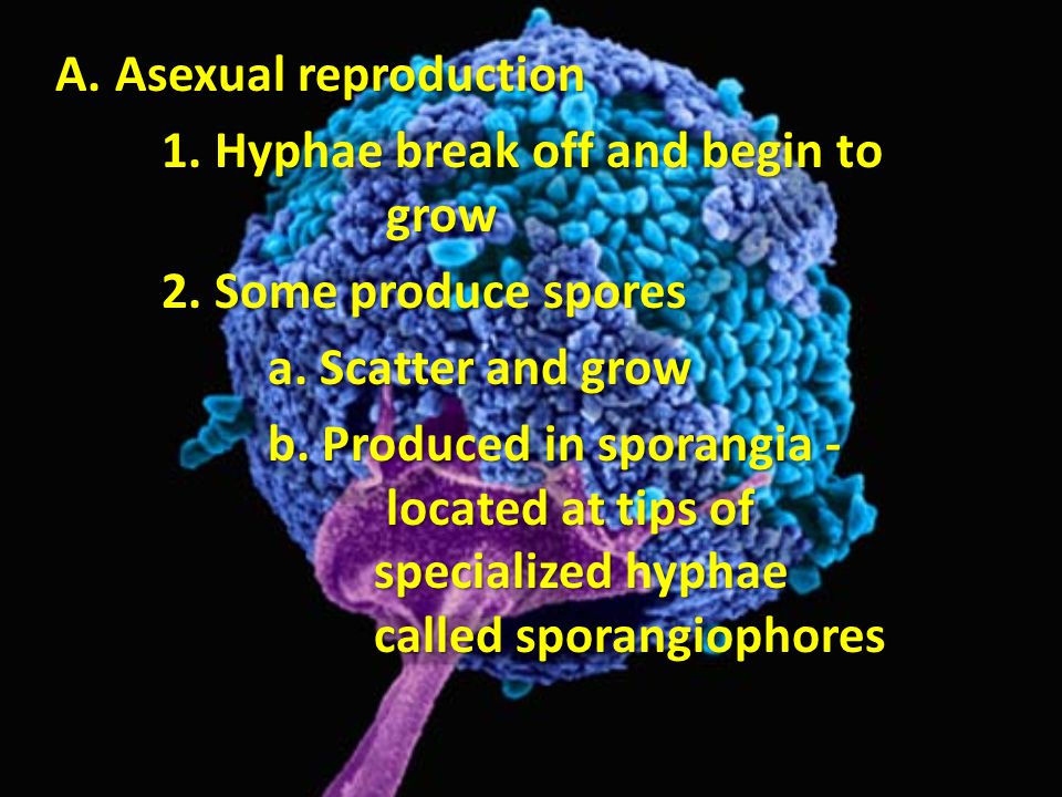 Asexual reproduction 1. Hyphae break off and begin to grow. 2. Some produce spores. a. Scatter and grow.