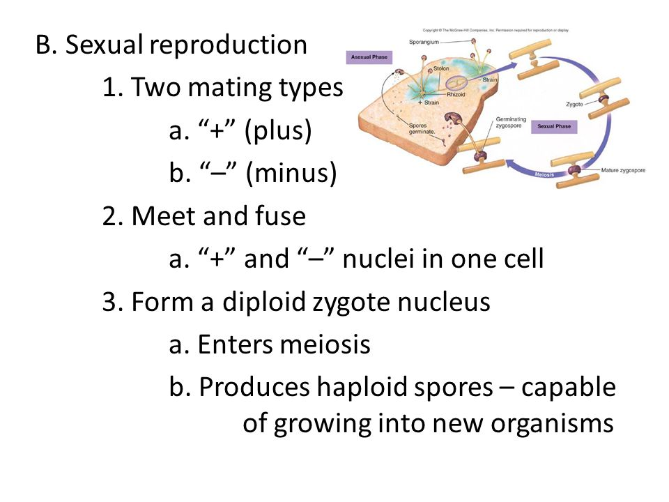 B. Sexual reproduction 1. Two mating types. a. + (plus) b. – (minus) 2. Meet and fuse. a. + and – nuclei in one cell.