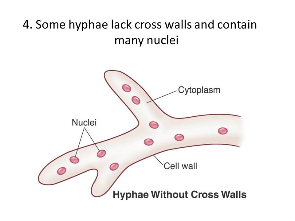 4. Some hyphae lack cross walls and contain many nuclei
